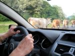 Cows Through Windshield